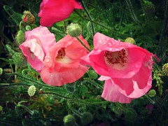 Happy Mother's Day! (Bennilover) Tags: flowers flower buds blossoms seedpods pods bristles stems hairy pinkpoppy poppies poppy mothersday wishes droplets