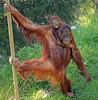 orangutan Samboja and Indah Apenheul BB2A0896 (j.a.kok) Tags: orangutan orangoetan orang animal aap ape asia azie mammal monkey mensaap motherandchild moederenkind primaat primate zoogdier dier apenheul samboja indah