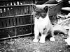 3732 - Bruto (Diego Rosato) Tags: gatto cat gattino kitten pet animal animale bianconero blackwhite fuji x30 rawtherapee bruto