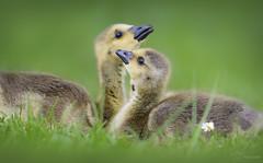 Siblings (Paula Darwinkel) Tags: goslings cute gosling goose bird animal wildlife nature baby spring adorable canadagoose