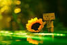 A flower is all you need..... (Jolie Candy ♫ (See You in July)) Tags: fujinon5522m42 fujinon manualfocus vintagelens sony danbo sunflower bokeh greenery
