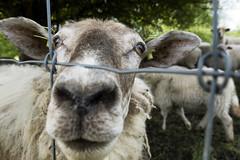 Hi (nokkie1) Tags: holland netherlands limburg sheep closeupnose ears eyes wool hello littledoglaughedstories