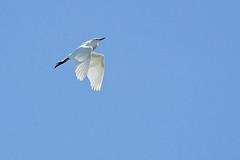 Aigrette A7306662_DxO (jackez2010) Tags: ilce7m3 fe100400mmf4556gmoss bif birdinflight aigrette