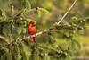 Cardinal (DFChurch) Tags: princeton wv westvirginia cardinalidae cardinal red bird nature wild
