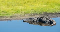 Reflections on the River (ap0013) Tags: alligator american americanalligator myakkariver statepark sarasotaflorida sarasotafl nature wildlife reptile reflection morning water fl fla