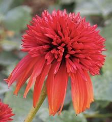 double fire (glennisb) Tags: double echinacea flower cottage garden perennial red nature colour fire petal