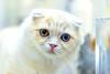 Kitty (Scottish Fold) (Dakiny) Tags: 2018 spring may japan tokyo nakanoward nakano city street creature animal mammal cat kitty bokeh nikon d750 nikonafsmicronikkor60mmf28ged afsmicronikkor60mmf28ged