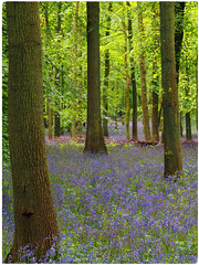 Bluebells 2 (Martofoto) Tags: bluebells dockey wood trees colour