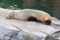 Relaxen (Ilona67) Tags: zeehond dier wildlands emmen dierentuin