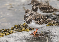 Really!! (davidrhall1234) Tags: turnstonearenariainterpres turnstone oban scotland shore shoreline sea wildlife world wader birds birdsofbritain bird beak feather nature nikon outdoors coth5