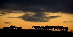 Quadro do Pampa (Eduardo Amorim) Tags: cavalos caballos horses chevaux cavalli pferde caballo horse cheval cavallo pferd tropilhas tropilla tropillas crioulo criollo crioulos criollos cavalocrioulo cavaloscrioulos caballocriollo caballoscriollos campo field champ auffangen pampa campanha pelotas costadoce riograndedosul brésil pôrdosol poente entardecer poniente atardecer sunset tramonto sonnenuntergang coucherdesoleil crepúsculo anoitecer mindigtopponalwaysontop brasil sudamérica südamerika suramérica américadosul southamerica amériquedusud americameridionale américadelsur americadelsud cavalo 馬 حصان 马 лошадь ঘোড়া 말 סוס ม้า häst hest hevonen brazil eduardoamorim