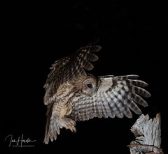 Tawny Owl (Ian howells wildlife photography) Tags: ianhowells ianhowellswildlifephotography inflight nature nationalgeographic naturephotography unitedkingdom springwatch wildlife wildlifephotography wales wildbird wild wildbirds tawnyowl tawny owl