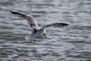 Prey Below (Apfhex) Tags: bird gull mew ringbilled hunting prey elliscreek petaluma