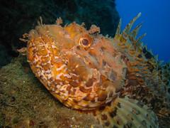 Scarpena. Red Scorpionfish.(Scorpaena Scrofa) (omar.flumignan) Tags: redscorpionfish scorfanorosso sub kostrena fotosub underwaterphoto canon powershot s5is ikelite ds51 pesce fish scorpaenascrofa