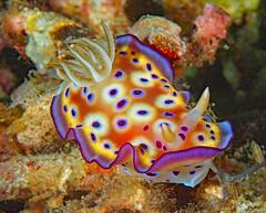 Nudibranch (sea slug)-   Goniobranchus kuniei (oceanzam) Tags: animal nudibranch life nature water underwater scuba diving muck macro colorful slug sea ocean beach summer philippines light dark shadow color