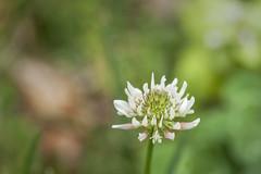 Clover Flower (Modkuse) Tags: nikonfx nikonprime clover wildflowers natural nature nikon nikondslr nikond700 105mmf28nikkormacro nikon105mmf28macronikkor macro macrophotography macroflowers macroflower nikonmacro