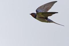 A7307184_DxO (jackez2010) Tags: ilce7m3 fe100400mmf4556gmoss bif birdinflight hirondellerustique