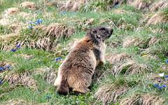Marmot (Murmeltier) (jpkrone) Tags: tier murmeltier