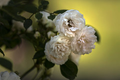 Spring Rose (Masa Angenieux) Tags: spring rose leica sl typ601 apovarioelmaritsl 90–280 mm f28–4