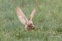 Burrowing Owl mating sequence - 10 of 22