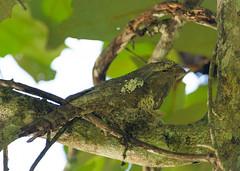 ปากกบ Blythe's Frogmouth (male) - Batrachostomus javensis (Michael Gillam) Tags: ปากกบ blythesfrogmouth batrachostomusjavensis javanfrogmouth frogmouth
