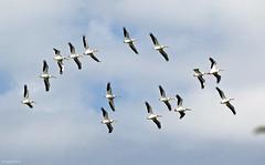 American White Pelican - 094A7540a1c (Sue Coastal Observer) Tags: americanwhitepelican awpe pelecanuserythrorhynchos flight delta bc britishcolumbia canada reifelbirdsanctuary