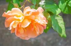 Rose. (Squig O) Tags: sk stuff rose spring orange