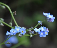 Forget me not..... (Sandyslifethroughalens) Tags: forgetmenot flowers wildflowers blueflowers closeup nofilter mygarden nature naturephotography flowerphotography