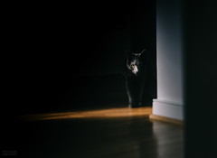 Spotlight (beth.oliver) Tags: tiltshift edge50 lensbaby spotlight drama monotones pocketoflight greycat catstalker cateye shadowandlight cat