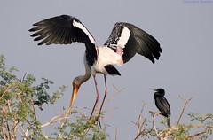 What are you doing?? (ssaurabh17) Tags: painted stork cormorant bird kumbhargaon sanctuary reservoir d5300 70300vr nikon
