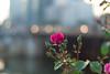 Voigtländer Nokton Classic SC 40 mm f/ 1.4 - DSCF0860 (::nicolas ferrand simonnot::) Tags: paris 2018 classic prime lens profondeur de champ effet macro bois arbre flou bokeh depth field color night public light rose green yellow orange blue red pink purple vintage manual ciel german voigtländer nokton sc 40 mm f 14 2010s | 10 blades aperture leica m