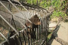 Bear-cub escape (i13rbk) Tags: fareast zoo khabarovsk zoogarden animals spring amur park forest shore bearcub cell