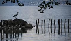 le héron (bulbocode909) Tags: vaud suisse noville grangettes hérons oiseaux nature branches lacléman eau lacs feuilles bleu printemps