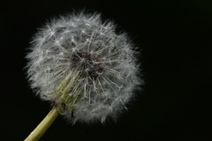 fluff (ladybugdiscovery) Tags: fluff dandelion seedhead seeds black white nature wildflower