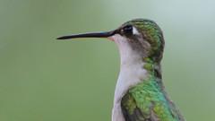 Ruby-throated Hummingbird (blazer8696) Tags: 2018 apodiformes arccol archilochus archilochuscolubris brookfield ct connecticut ecw obtusehill rthu rubythroatedhummingbird t2018 trochilidae tabledeck usa unitedstates colubris hummingbird ruby rubythroated throated female img3153