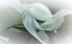 Fallen down rose petals (wilma HW61) Tags: smileonsaturday separatepetals rozenblaadjes rosepetals pétalesderose petalidirosa rosenblätter macro doff depthoffield closeup wit white weis blanc bianco nederland niederlande netherlands nikond90 holland holanda paysbas paesibassi paísesbajos europa europe wilmahw61 wilmawesterhoud hsos