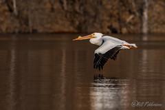 20180428-_DSC4380.jpg (GrandView Virtual, LLC - Bill Pohlmann) Tags: stillwatermn spring wildlife border nature bird americanwhitepelican stcroixboomsite minnesota stcroixriver kayaking