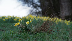 A cool morning (nikjanssen) Tags: morning nature spring tintigny narcissus daffodil pasture weide lente bokeh explore