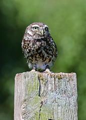 Little Owl (Treflyn) Tags: little owl pip feathers fur hare hatch berkshire