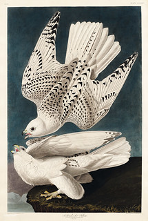Iceland or Jer Falcon from Birds of America (1827) by John James Audubon (1785 - 1851), etched by Robert Havell (1793 - 1878). The original Birds of America is the most expensive printed book in the world and a truly awe-inspiring classic.