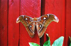 Attacus Atlas 2. (sullen_snowflakes) Tags: falena moth attacusatlas natura nature analogico analog