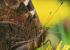 Inachis io (Konstantin.a7) Tags: inachisio butterfly schmetterling mariposa 蝶 蝶々 花 接写 昆虫 自然 かわいい flower macro insect nature sony flor insecto naturaleza sol natur frühling 春 spring primavera