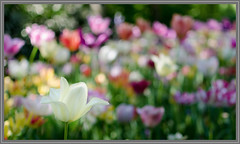 "White tulip (Erik v Hassel) Tags: white tulip keukenhof lisse bloem flower tuin garden nikon nederland dutch haps erikhaps closeup tulp flowerbed serene bokeh macro ""depth field"" petal bright outdoor flowerbulbs bloembollen foto photo flickr top100 d5100 holland beautiful fraai excellent view splendid beauty best wonderful fantastic awesome stunning incredible magic nice perfect image shot lovely ngc"