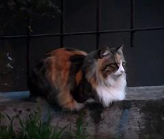 dipingendo una bella gattona (fotomie2009) Tags: textured texture fotosketcher cat gatto calico feline felino animal fauna