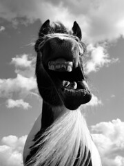 😴 (tamsyn981) Tags: portrait comedy mono white black mouth candid funny comical equine horse
