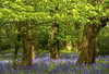 Bluebells (Alex Hannam) Tags: leicester leicestershire landscape bluebells flowers spring trees