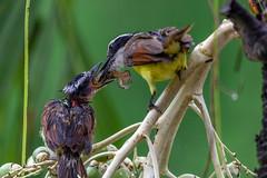 Schwefeltyrann (RiversideMovie&Pictures Wildlife) Tags: aves baum bird costarica greatkiskadee jungvogel monsumregen nass nest palmblüte palme passeriformes pitangussuphuratus rionosara schwefeltyrann tyrannidae wildlife