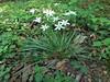 Common Star-of-Bethlehem (treegrow) Tags: rockcreekpark washingtondc nature lifeonearth ornithogalumumbellatum taxonomy:binomial=ornithogalumumbellatum asparagaceae plant angiosperms