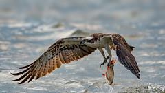 Fishing Osprey (eric-d at gmx.net) Tags: osprey fischadler fish pandionhaliaetus eric wildlife