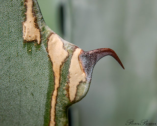Prickly Paradise - American Agave